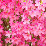"""Azalea Flowers Art Prints Sunlit Pink Azaleas Art"" by BasleeTroutman"