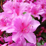 """OFFICE DECOR Pink Azalea Flowers HOME DECOR"" by BasleeTroutman"