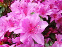OFFICE DECOR Pink Azalea Flowers HOME DECOR