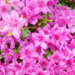 """Azaleas Landscaped Art Prints Pink Azalea Flowers"" by BasleeTroutman"