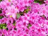 Azaleas Landscaped Art Prints Pink Azalea Flowers