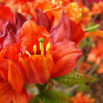 """RHODIES Red Rhododendrums Flowers Art Print Orange"" by BasleeTroutman"
