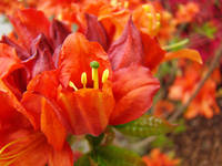 RHODIES Red Rhododendrums Flowers Art Print Orange