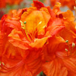 """Rhododendrums Orange Red Rhodies Azalea Flower Art"" by BasleeTroutman"