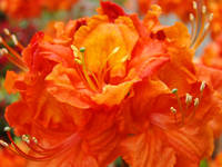 Rhododendrums Orange Red Rhodies Azalea Flower Art