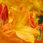 """Azaleas Orange 15 Orange Azalea Flowers DSC07370"" by BasleeTroutman"