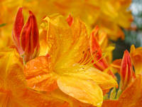 Azaleas Orange 15 Orange Azalea Flowers DSC07370