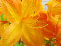 Yellow Rhodies Azalea Flowers Orange Azaleas Art