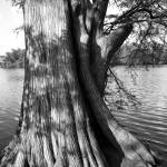 """Bald Cypress on the Shores of Town Lake, Austin, T"" by austinphotos"