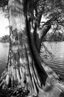 Bald Cypress on the Shores of Town Lake, Austin, T