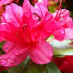 """Azaleas Red Azalea Flowers Art Prints Nature"" by BasleeTroutman"