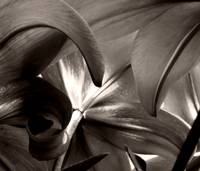 Abstract Asiatic Lily in Black and White