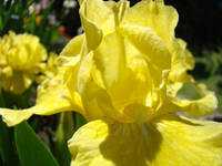 Irises Yellow Iris Flower Art Prints Spring Flower