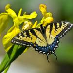 """""""BUTTERFLY YELLOW ON YELLOW"""" by Shot12"""