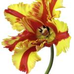 """red and yellow parrott tulip on white"" by Morganhowarth"