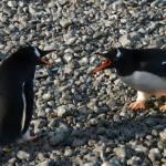 """Lone chinstrap penguin"" by BobBerwyn"