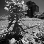 """Field Weeds 6.4.2009"" by notleyhawkins"