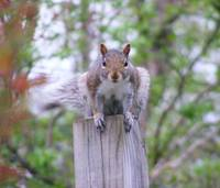 Squirrel on Post