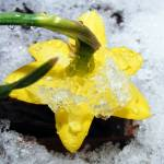 """Snowy Spring Flower"" by RIPizzo"