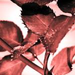 """Morning Dew on the Rose Bush"" by RIPizzo"