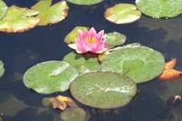 Lily pad bloom
