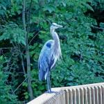 """Heron"" by LivingGaia"