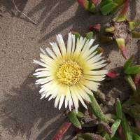 """Beach Flower"" by Sally & Richard Raskoff"