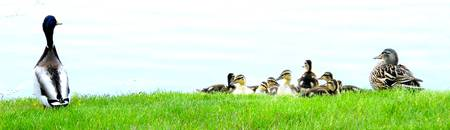 The Whole Mallard Duck Family