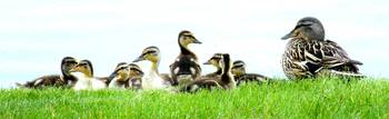 Mallard Duck Family (Color)
