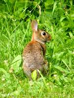 Wild Mother Rabbit