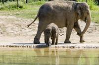 Phoebe push Baby Elephant Beco into the Pond