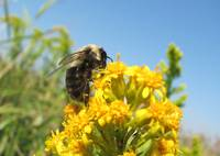 Bumble Bee & Goldenrod