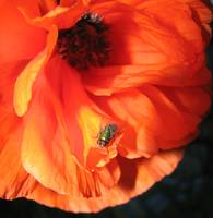 Poppy & Bottle Fly