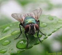 Bottle Fly 2