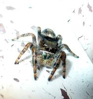 Fuzzy Little Jumping Spider 1