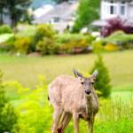 """""""Muir Park - Deer"""" by mattnjohnson"""