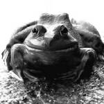 """bull frog b&w"" by Mikespointofview"