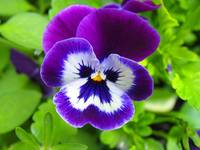 Pansy Power