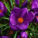 """Scottish crocus"" by AndrewJames"