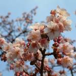 """My favorite cherry blossom photo"" by jennifer14"