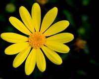 Bright Yellow Daisy