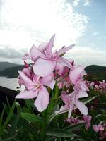 virgin_gorda_blossoms