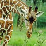 """Giraffe Animal Close-up"" by kphotos"