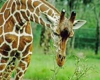 Giraffe Animal Close-up