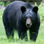 """Large Black Bear"" by mikepolo"