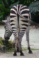 business end of zebra