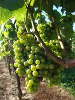 Grapes from Long Island vineyard