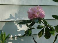 rhododendron and shadows