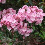 """""""Mountain Laurel"""" by Cathyscreations"""