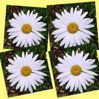 Daisy Collage